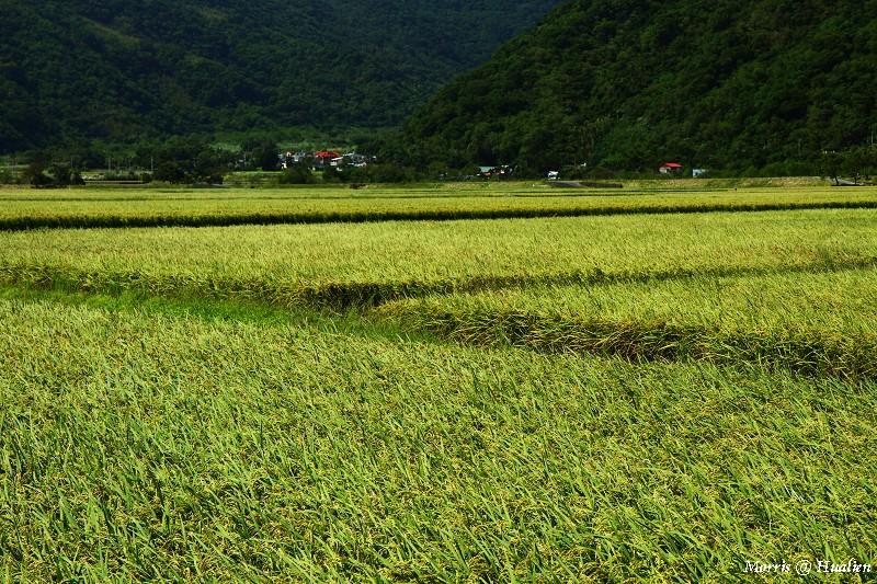 花東縱谷的稻香味 (7)