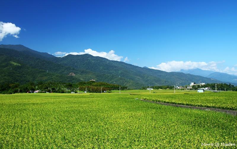 花東縱谷的稻香味