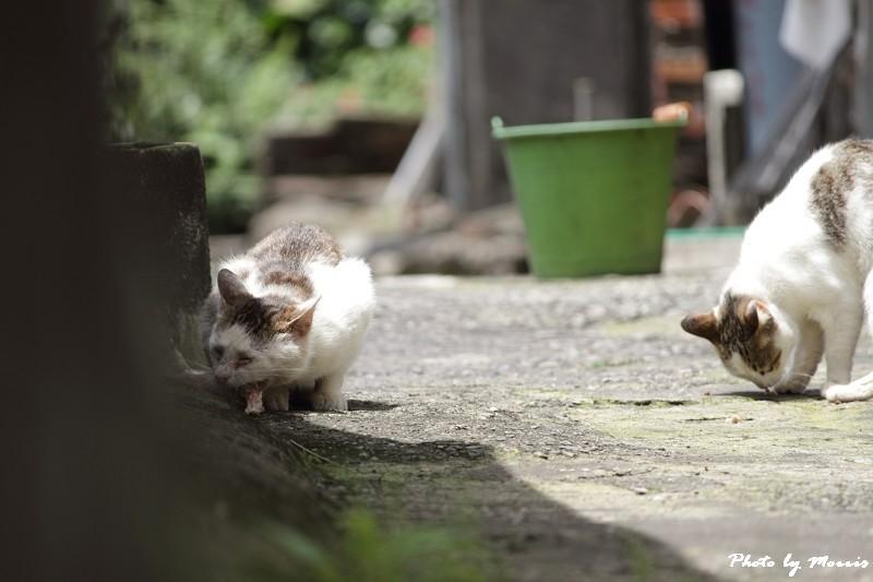 金瓜石的貓兒們 (9)