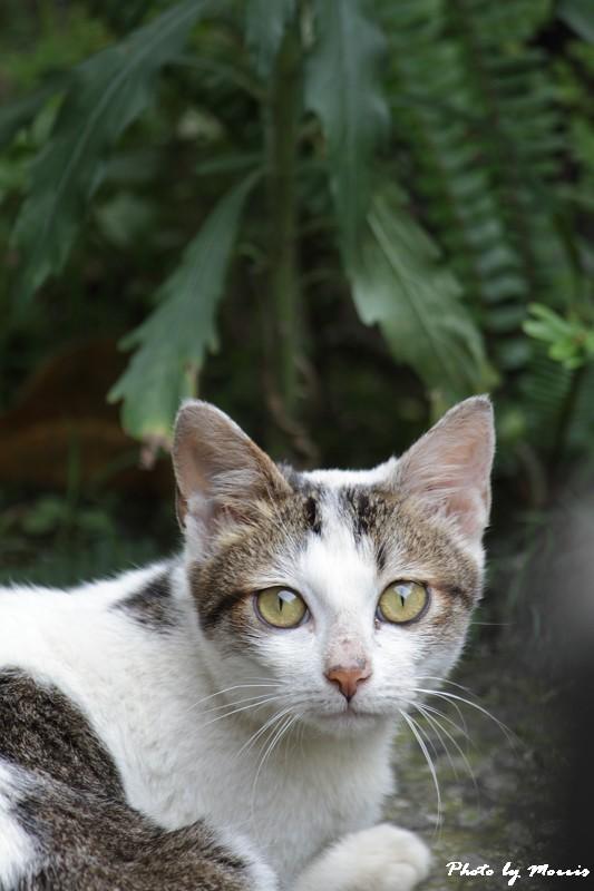 金瓜石的貓兒們 (26)