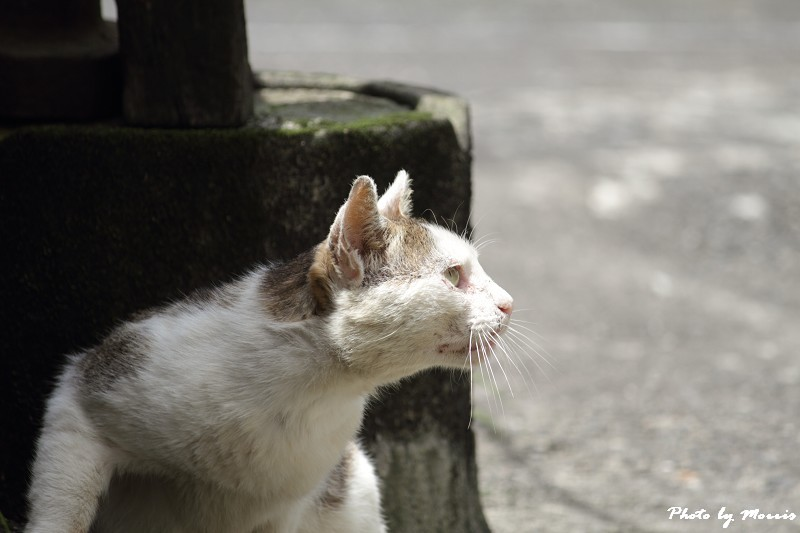 金瓜石的貓兒們 (3)