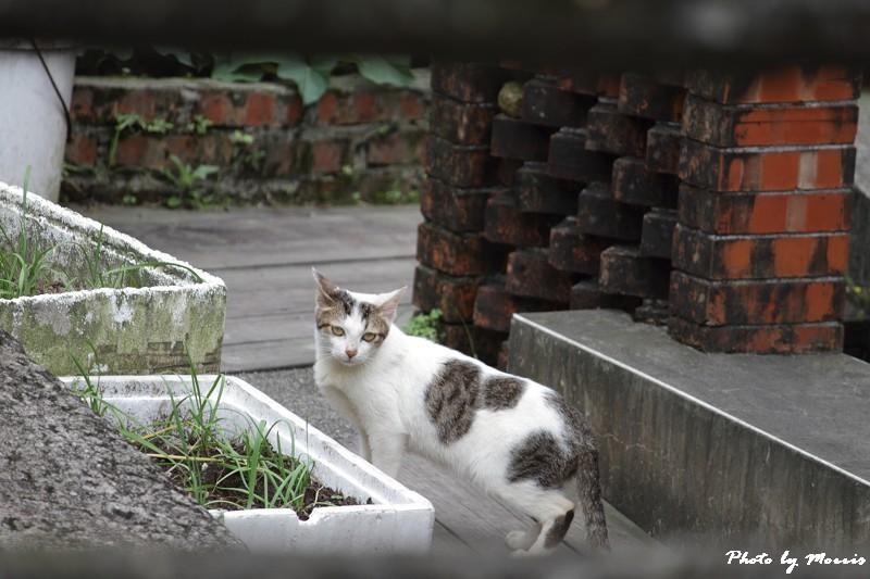 金瓜石的貓兒們 (27)