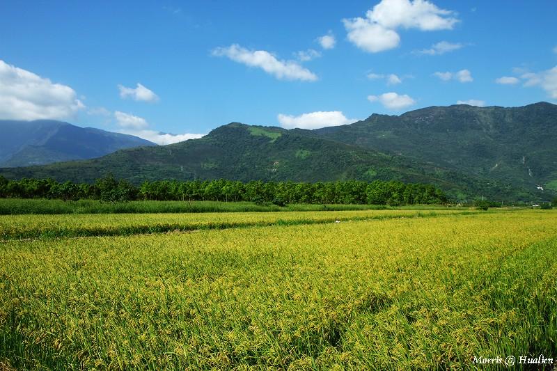 花東縱谷的稻香味 (47)
