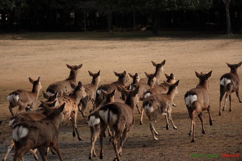 奈良 鹿寄 (33)