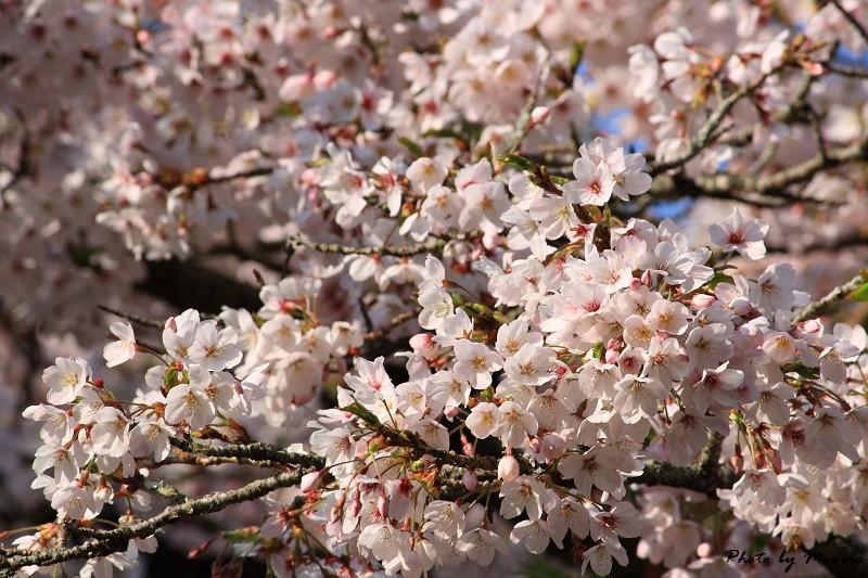 2010阿里山櫻花季 (11)