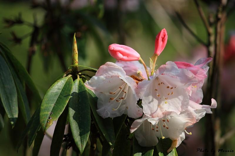 2010阿里山櫻花季 (35)