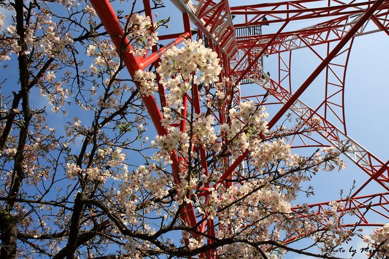 2010阿里山櫻花季 (29)
