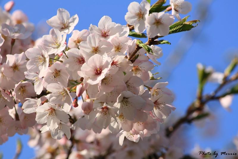 2010阿里山櫻花季 (14)