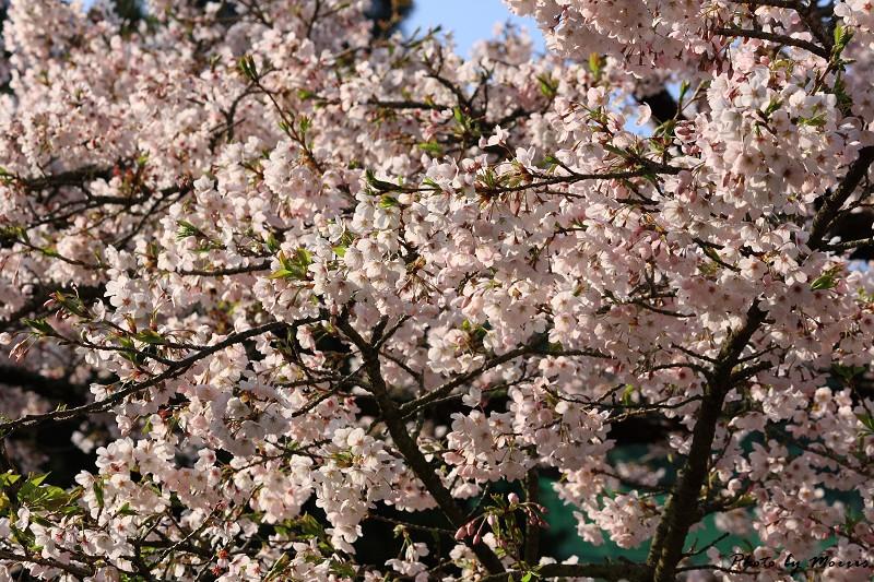 2010阿里山櫻花季 (21)