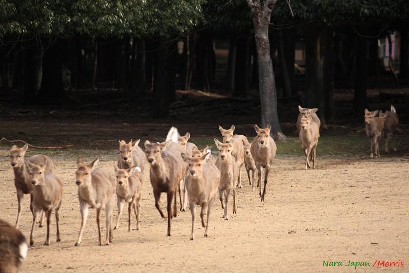 奈良 鹿寄 (41)