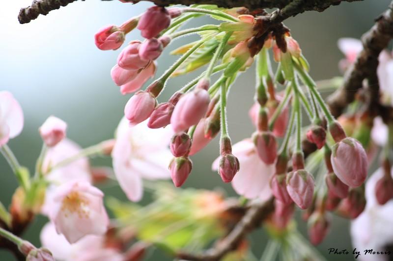 2010阿里山櫻花季 (42)
