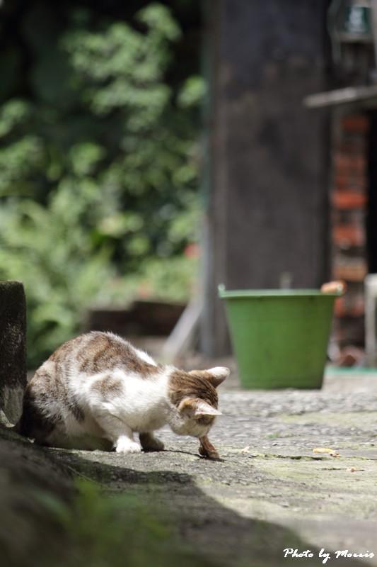 金瓜石的貓兒們 (7)