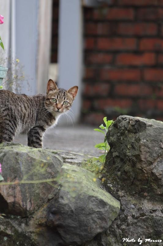 金瓜石的貓兒們 (14)