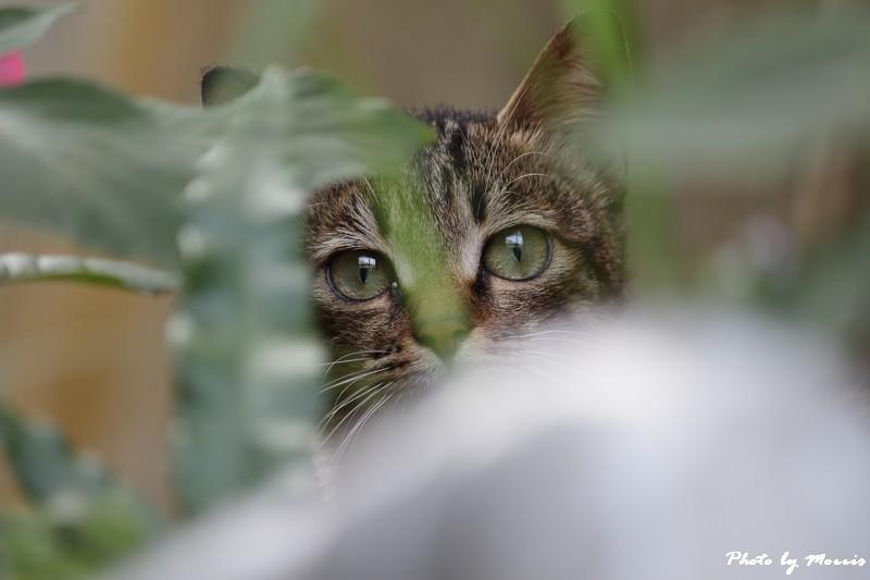 金瓜石的貓兒們 (11)