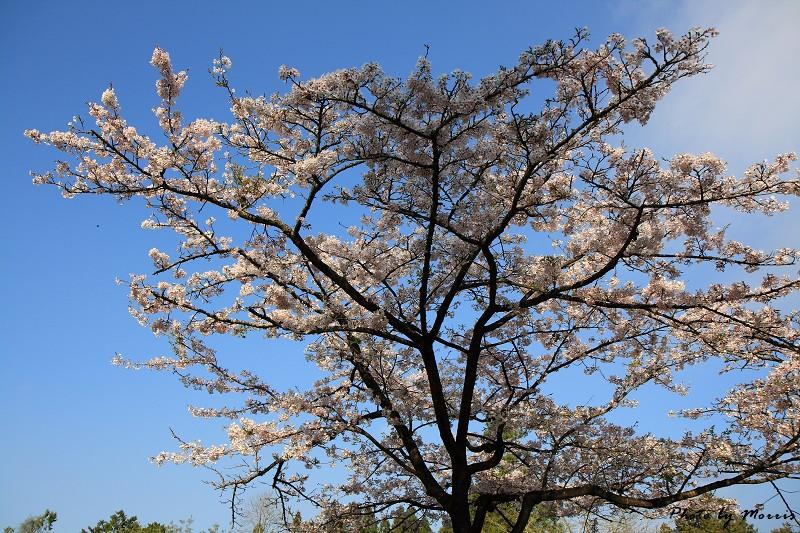 2010阿里山櫻花季 (04)