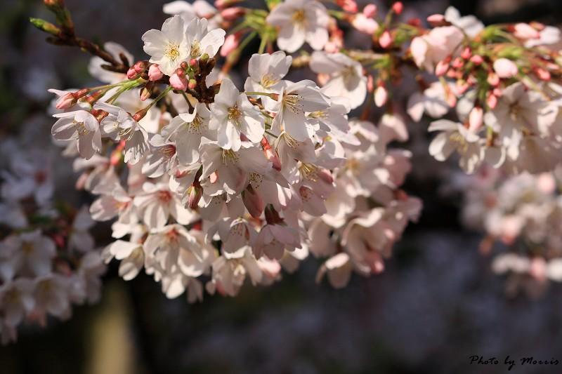2010阿里山櫻花季 (26)