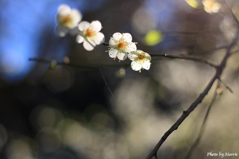 烏松崙梅花賞 (05)