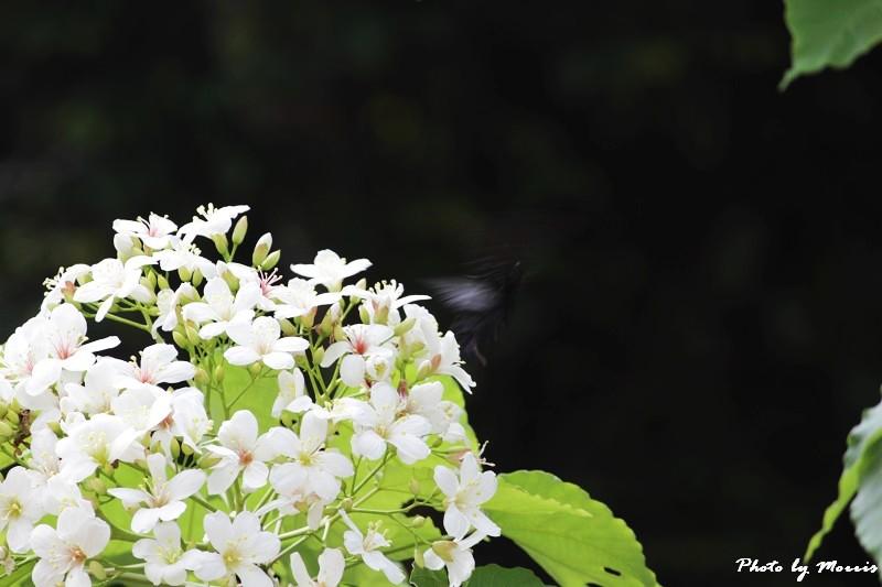油桐花語 (34)