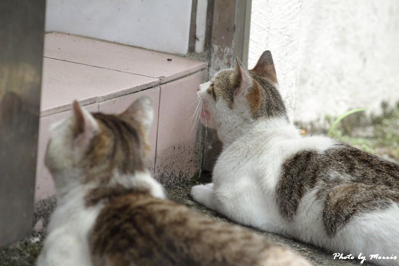 金瓜石的貓兒們 (2)