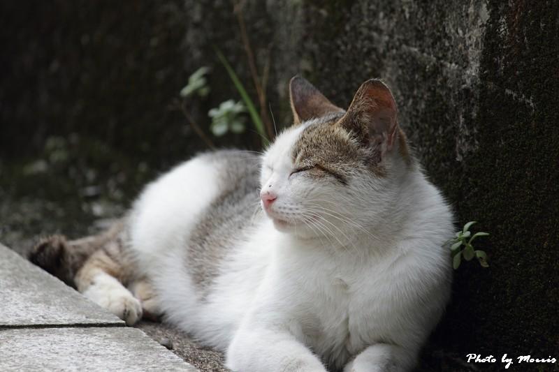 金瓜石的貓兒們 (22)