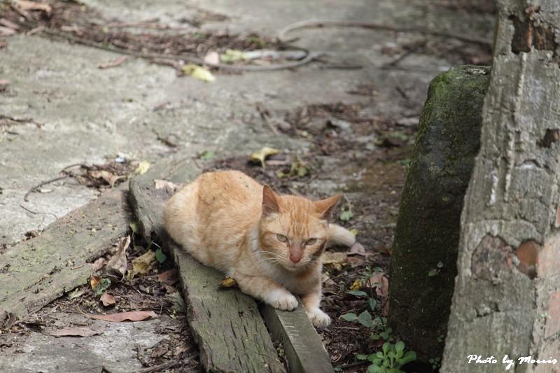 金瓜石的貓兒們 (25)