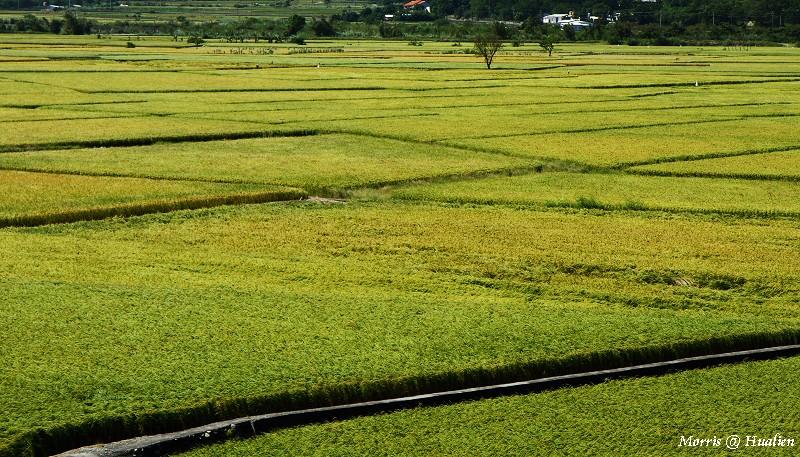 花東縱谷的稻香味 (9)
