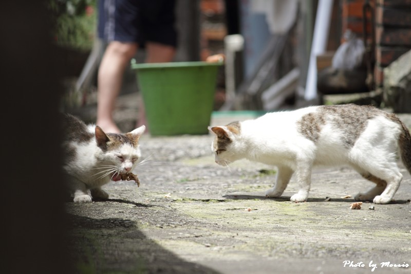 金瓜石的貓兒們 (8)