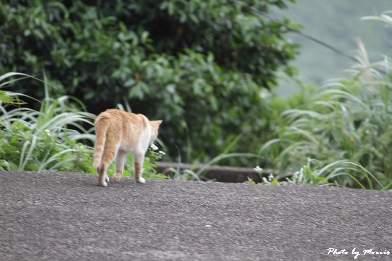 金瓜石的貓兒們 (30)