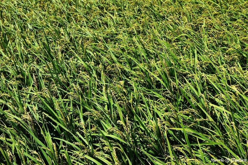 花東縱谷的稻香味 (4)
