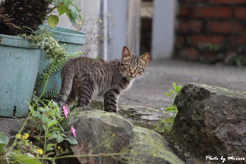 金瓜石的貓兒們 (13)