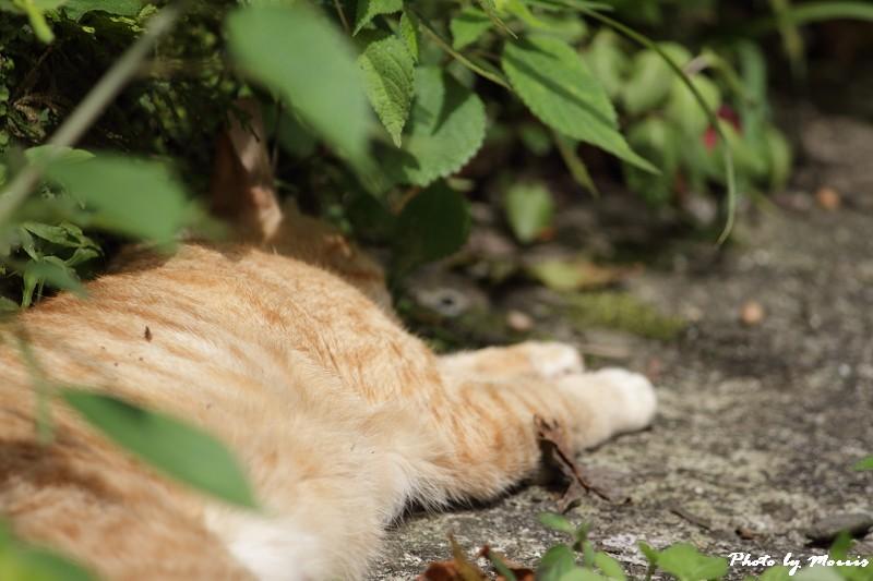金瓜石的貓兒們 (20)
