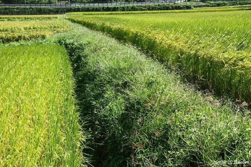 花東縱谷的稻香味 (33)