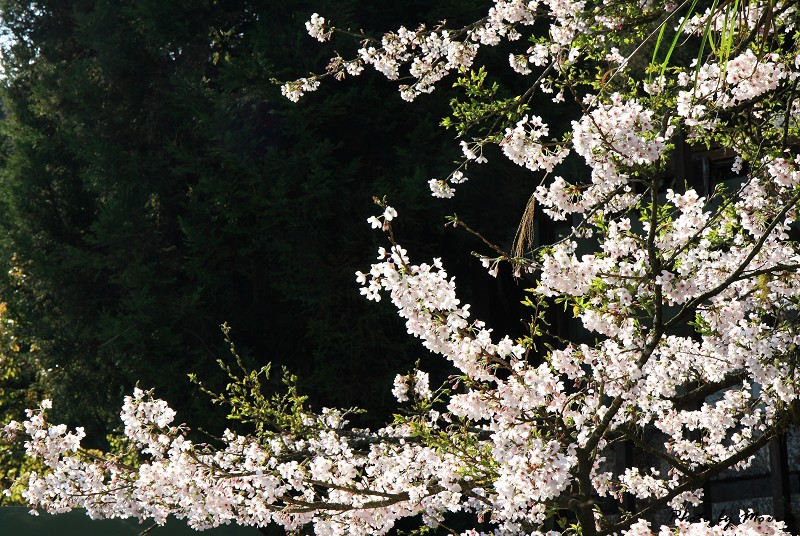 2010阿里山櫻花季 (30)