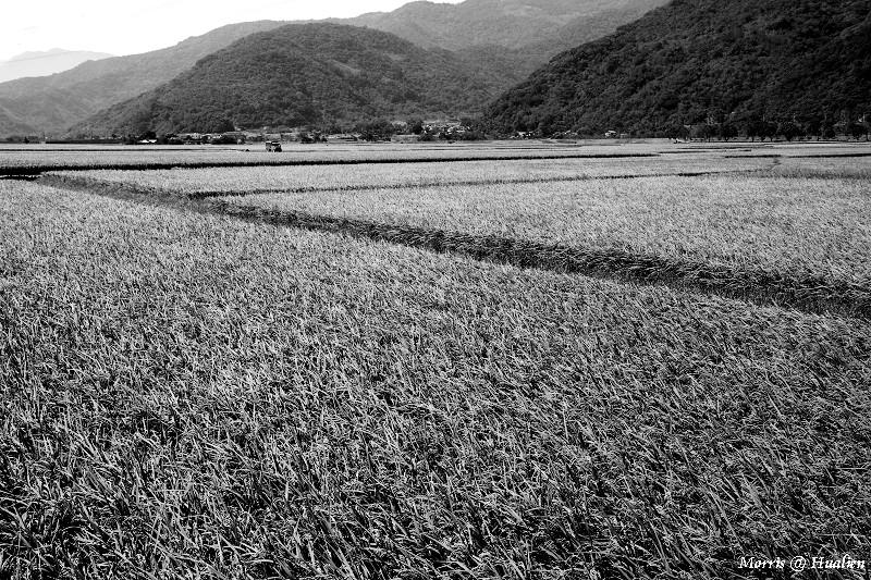 花東縱谷的稻香味 (3)
