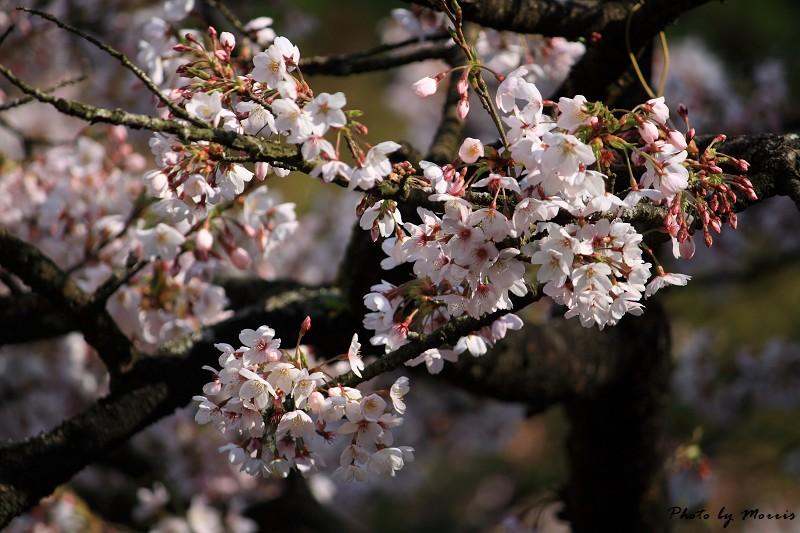 2010阿里山櫻花季 (37)