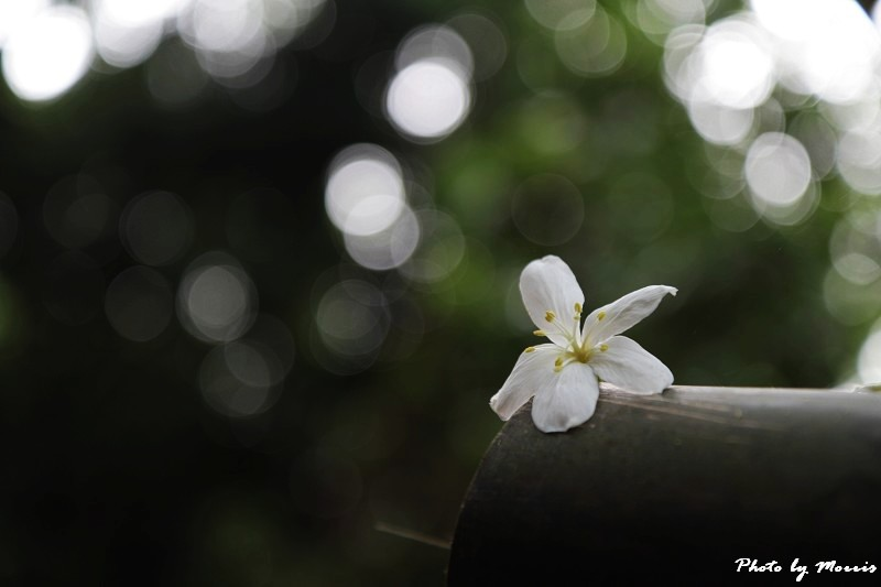 油桐花語 (12)