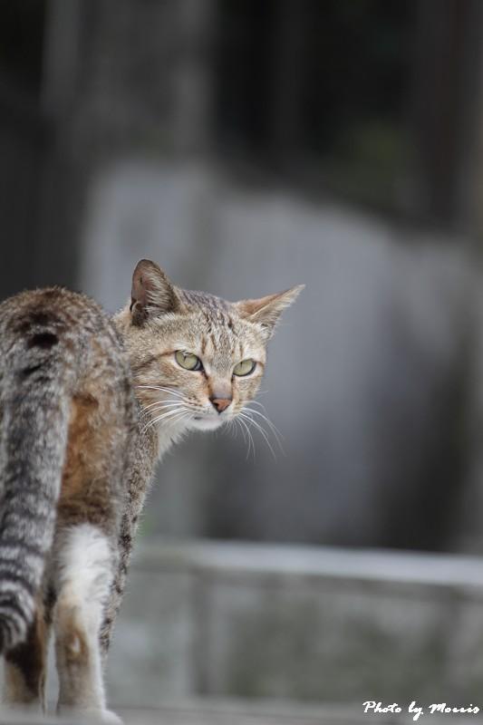 金瓜石的貓兒們 (23)