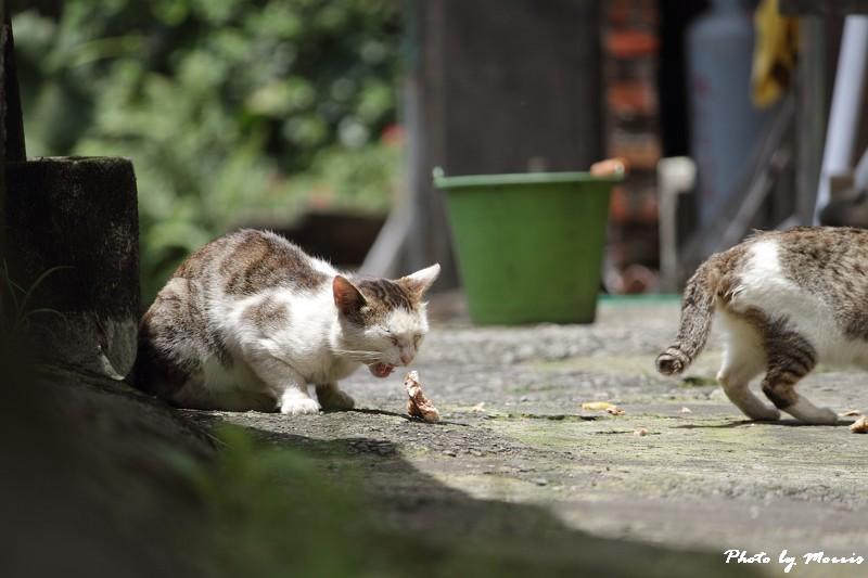 金瓜石的貓兒們 (6)