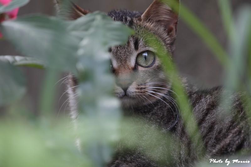 金瓜石的貓兒們 (12)