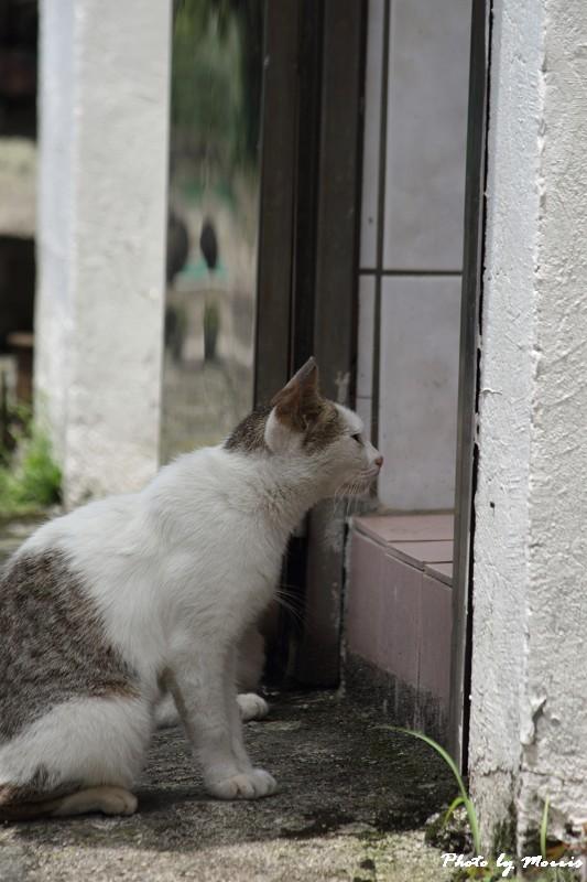 金瓜石的貓兒們