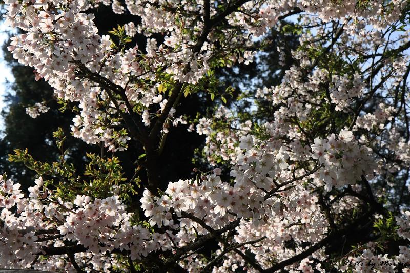 2010阿里山櫻花季 (31)