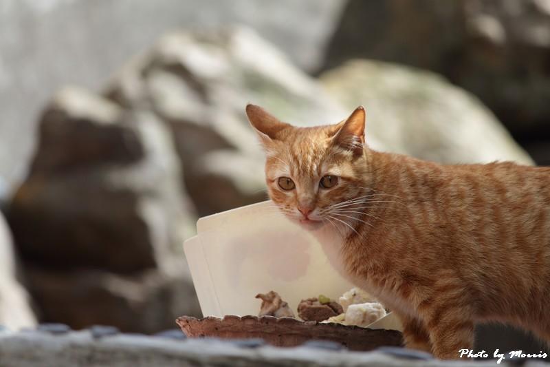 金瓜石的貓兒們 (15)