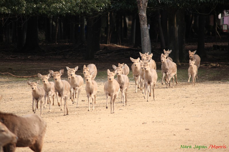 奈良 鹿寄 (40)
