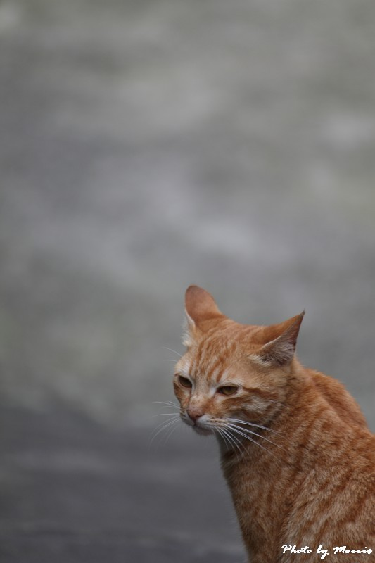 金瓜石的貓兒們 (18)