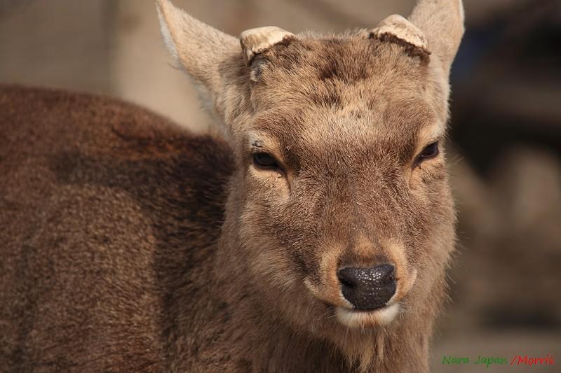 奈良 鹿寄 (19)