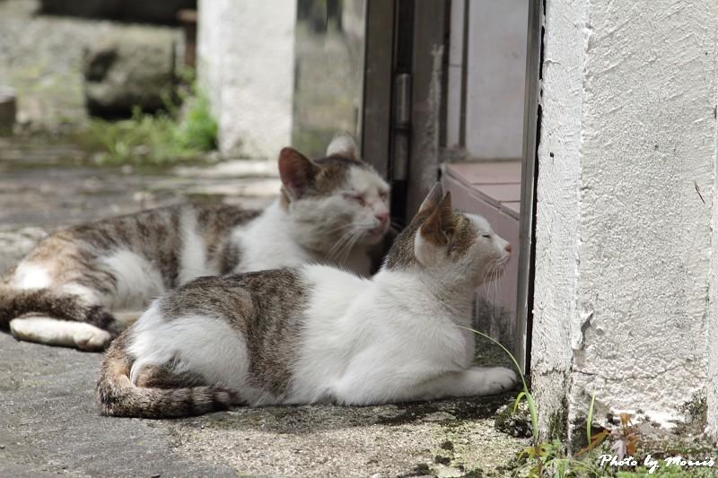 金瓜石的貓兒們 (1)