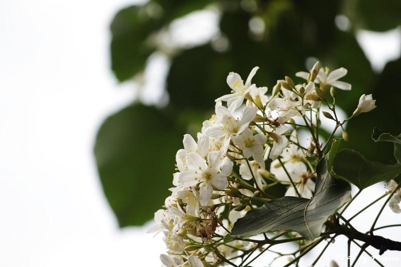 油桐花語 (24)