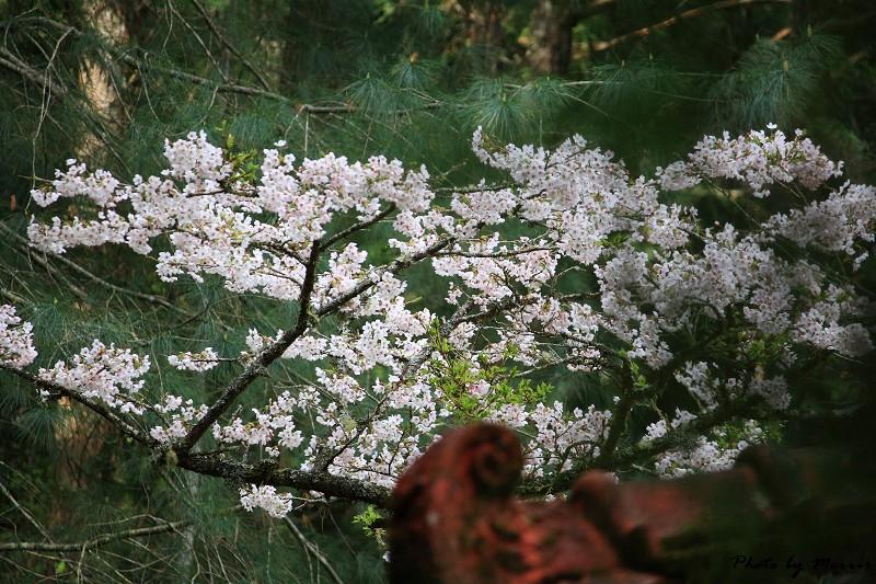 2010阿里山櫻花季 (39)
