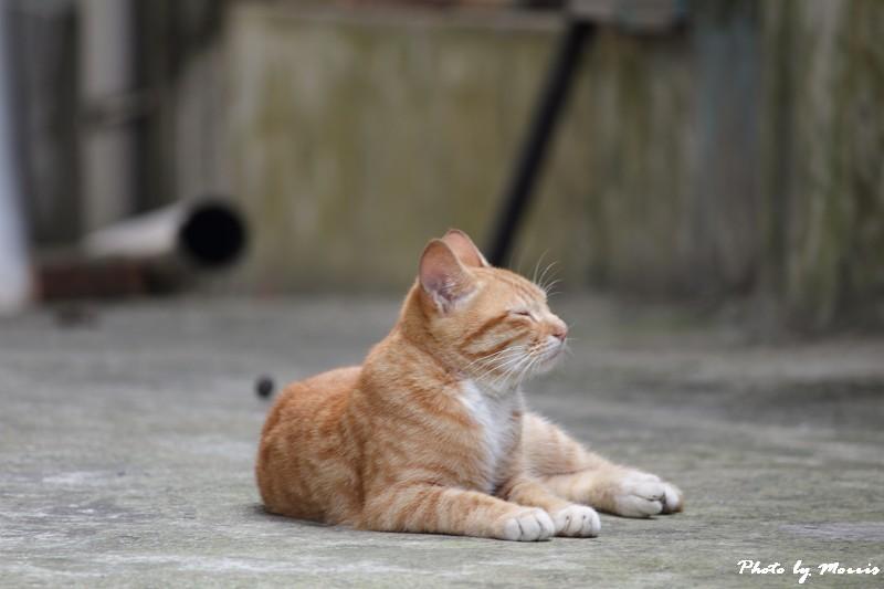 金瓜石的貓兒們 (17)