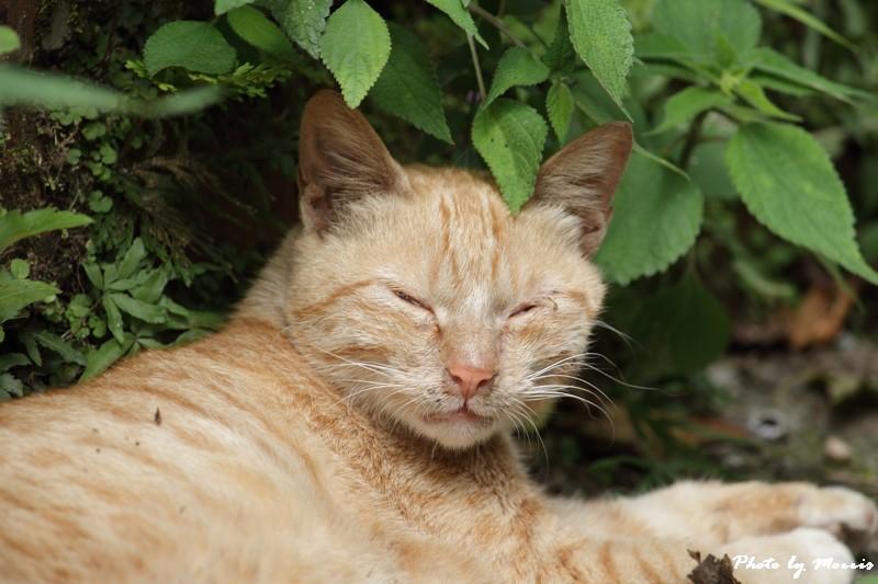 金瓜石的貓兒們 (21)